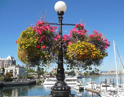 Hanging-Baskets-Victoria-BC-That-Girl-in-Victoria (2)