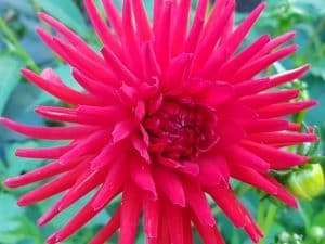 Large Dahlia Flower at the Butchart Gardens