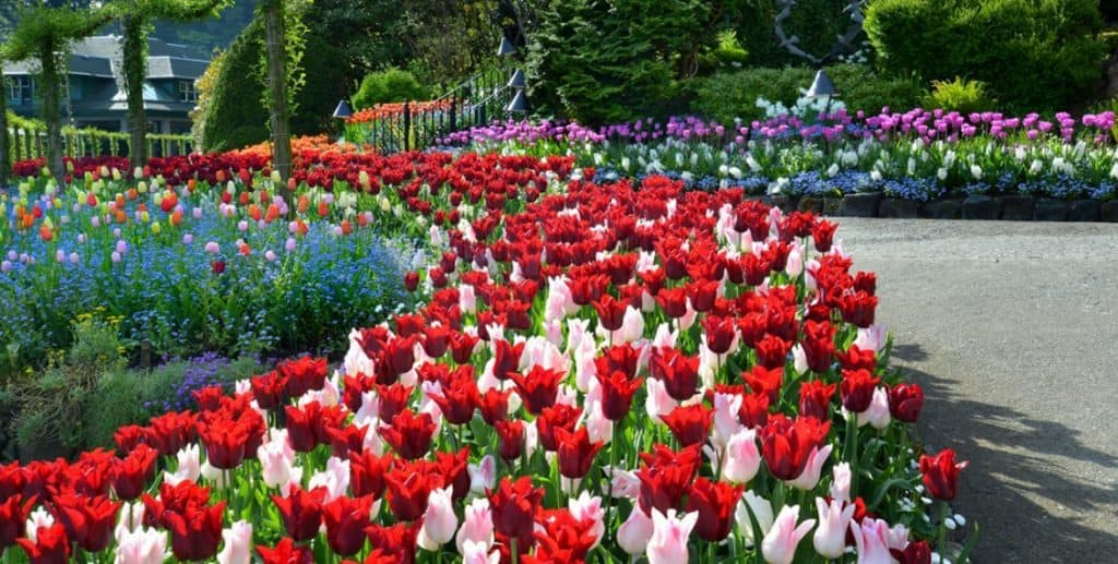 Tulips at Butchart Gardens - photo credit Gardens BC